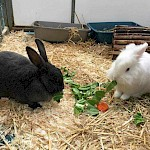 RABBIT AWARENESS WEEK 2019  Free health checks & claw clipping for your rabbits & guinea pigs (+ free microchipping for rabbits!)